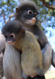 Mother Langur Primate Monkey with Her Youngster at an open Preserve Sanctuary in Southeast Asia. Not a zoo; note the yellowish coloring on the youngster, which Royalty Free Stock Photo