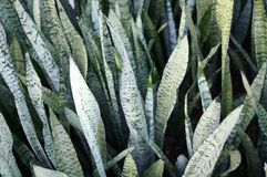 Mother in law's tongue plant (sansevieria) Royalty Free Stock Photo