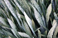 Mother in law's tongue plant (sansevieria) Royalty Free Stock Photos