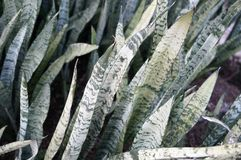 Mother in law's tongue plant (sansevieria) Stock Image