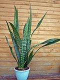 Mother in law`s tongue - sansevieria trifasciata Royalty Free Stock Photo
