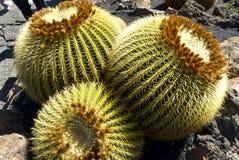 Mother-in-Laws Chair, Golden Barrel Cactus, Golden Ball. Cactus in cactus garden on Lanzarote, Echinocactus grusonii stock photography