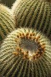 Mother-in-Laws Chair, Golden Barrel Cactus, Golden Ball. Cactus in cactus garden on Lanzarote, Echinocactus grusonii royalty free stock photography