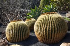 Mother-in-Laws Chair, Golden Barrel Cactus, Golden Ball Stock Images