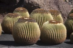 Mother-in-Laws Chair, Golden Barrel Cactus, Golden Ball Royalty Free Stock Image