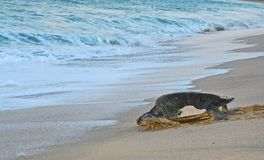 Mother leather back sea turtle, Costa Azul, Los Cabos Mexico royalty free stock image