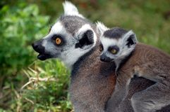 Mother Lemur Stock Photo