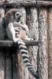 Mother lemur caressing her baby. Picture of a mother lemur hugging and caressing her baby Royalty Free Stock Images