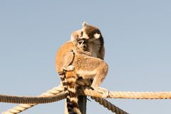 Mother lemur gives a hug to her baby. Royalty Free Stock Images