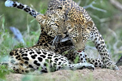 Mother leopard with cub Stock Photos