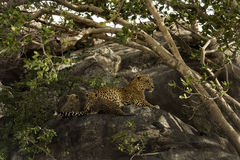 Mother Leopard with two cubs in Tanzania Royalty Free Stock Photo