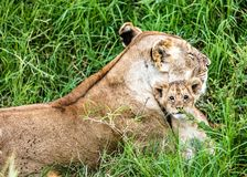 Mother Lion and Baby Cub in Kenya Africa royalty free stock images