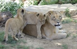 Mother lion and cubs Stock Photography