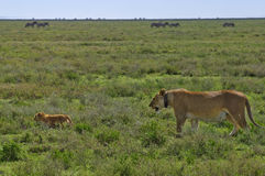 Mother lion wearing radio collar, with cub Royalty Free Stock Photography