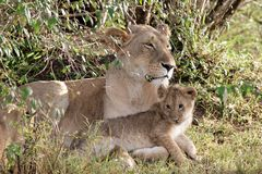 Mother lioness with cub. Mother lioness lying down with cub in front paws stock photo