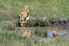 Mother lioness drinking from small pool stock photo