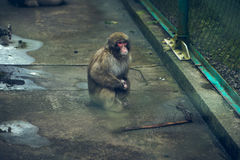 Mother and little Ape. Kyushu,Aso-Ape in the cage Royalty Free Stock Photo