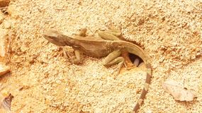 Mother lizard royalty free stock images
