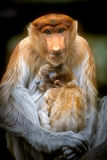 Mother. Long nose monkey with baby stock photos