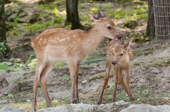 Mother love. A baby deer with his mother Royalty Free Stock Images