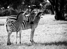 Mother love. Mother and calf, Zebra. Shot at Hwange national park, Zimbabwe Royalty Free Stock Photo