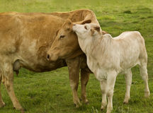 Mother love charolais cow with baby brahman calf. Spring time mother love - rural scene, charolais cow with baby brahman cross calf - australian beef cattle royalty free stock photography