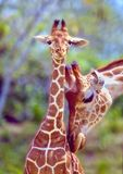 Mother love. A mother giraffe tenderly nuzzles her calf Stock Photography