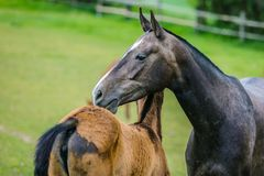 Mother love of horses in a paddock stock photography