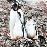 Mother love, motherly love, penguin - Pygoscelis papua - caring for two cute chicks in stone nest, Petermann Island, Antarctica