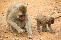 Mother macaque and her baby monkey Royalty Free Stock Images