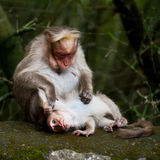 Mother macaque monkey cleaning her baby. India Stock Photography