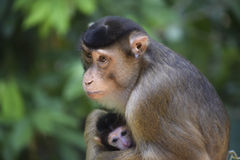 Mother macaque monkey with cute baby Royalty Free Stock Photo