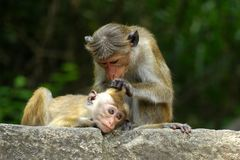 A Monkey spring clean stock photography