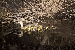 Mother Mallard with Babies. Mother mallard duck with lots of tiny fluffy baby ducks on dark water Royalty Free Stock Photo