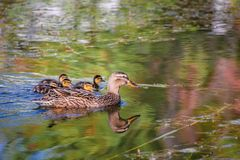 Mallard mother duck and ducklings swimming in river. Mother mallard duck Anas platyrhynchos with ducklings swimming in river stock photo