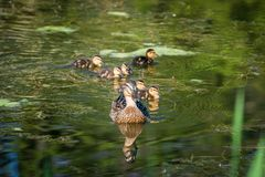 Mallard mother duck and ducklings swimming in river. Mother mallard duck Anas platyrhynchos with ducklings swimming in river stock images