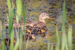 Mallard mother duck and ducklings swimming in river. Mother mallard duck Anas platyrhynchos with ducklings swimming in river stock photos