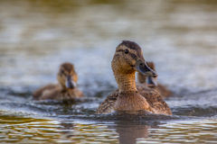 Mother mallard duck. (Anas platyrhynchos) with two chicks swimming in water under setting sun royalty free stock images