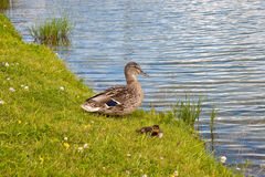 Mother mallard duck with cute duckling. Mother mallard duck and cute duckling on the grass near water Royalty Free Stock Photos