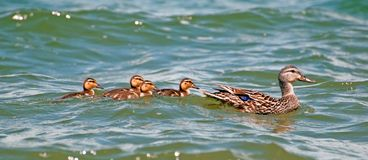 Mother mallard duck with ducklings. Mother mallard duck with ducklings out on the lake Stock Images