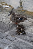 Mother mallard duck with ducklings. Mother duck with sleeping ducklings Royalty Free Stock Photo