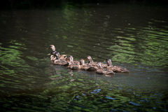Mother Mallard Duck and Ducklings at Swan Lake and Iris Gardens. Sumter, SC Stock Photography