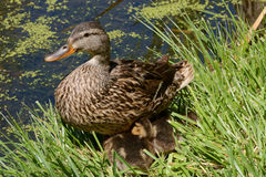 Mother mallard duck hen with ducklings Stock Photos