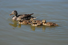 Mother mallard duck hen with ducklings Royalty Free Stock Images