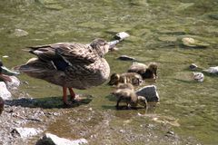 A mother mallard duck with her ducklings. At the edge of a lake royalty free stock image