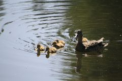 A mother mallard duck with her ducklings. At the edge of a lake going for a swim royalty free stock photo