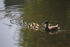A mother mallard duck with her ducklings. At the edge of a lake going for a swim royalty free stock images