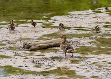 Mother mallard duck and her ducklings in a shallow lake in Watercrest Park, Dallas, Texas. Pictured is a mother mallard duck and her ducklings standing in a stock image