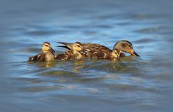 Mother Mallard Duck with her Ducklings Royalty Free Stock Photo