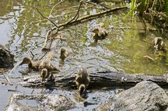 A mother mallard duck with her ducklings swimming in the lake, South park. Sofia, Bulgaria Stock Photo